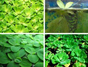 Пистия аквариумное растение