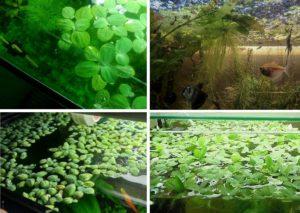 Пистия в аквариуме